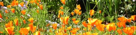 Poppies, Fort Mason Community Garden