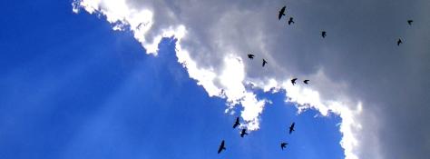 Crows, Sarasota